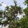 GleditsiaTriacanthos4.jpg 1024 x 768 px 286.02 kB