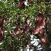 GleditsiaTriacanthos5.jpg 576 x 768 px 157.08 kB