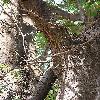 GleditsiaTriacanthos6.jpg 576 x 768 px 169.71 kB