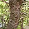 GleditsiaTriacanthos7.jpg 576 x 768 px 178.31 kB