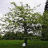 GleditsiaTriacanthos9.jpg 576 x 768 px 152.9 kB