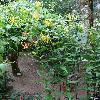 Gloriosa2.jpg 681 x 908 px 435.22 kB