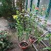 Gloriosa4.jpg 720 x 960 px 428.88 kB