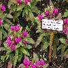 GomphrenaGlobosaBuddyPurpur.jpg 1024 x 768 px 209.11 kB