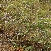 GoniolimonEximium.jpg 600 x 902 px 409.28 kB