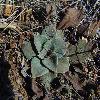 GoniolimonSpeciosum6.jpg 600 x 450 px 214.91 kB