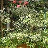 GrevilleaBanksii4.jpg 576 x 768 px 183.28 kB