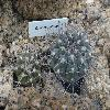 GymnocalyciumCastellanosii2.jpg 1024 x 768 px 211.13 kB