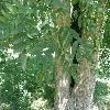 GymnocladusDioica5.jpg 1127 x 845 px 211.55 kB