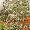 HakeaCrassifolia.jpg 576 x 768 px 184.57 kB