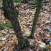 HalesiaCarolina7.jpg 720 x 960 px 510.02 kB