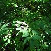 HalesiaMonticola2.jpg 1219 x 914 px 298.12 kB
