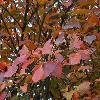 HamamelisIntermediaRubyGlow2.jpg 1024 x 768 px 189.22 kB