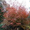 HamamelisIntermediaRubyGlow.jpg 1024 x 768 px 303.74 kB