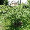 HamamelisJaponica2.jpg 1127 x 845 px 303.74 kB