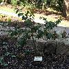 HamamelisJaponica.jpg 1024 x 768 px 222.51 kB