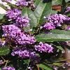 HardenbergiaViolacea.jpg 600 x 900 px 407.88 kB