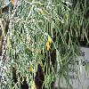 HatioraSalicornioides3.jpg 1024 x 768 px 193.21 kB