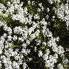 HebeArmstrongii3.jpg 1127 x 845 px 297.46 kB