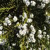 HebeArmstrongii4.jpg 1127 x 845 px 250.71 kB