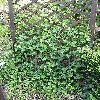 HederaHelix6.jpg 576 x 768 px 188.45 kB