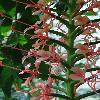 HedychiumCoccineum2.jpg 681 x 908 px 283.66 kB