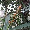 HedychiumCoccineum3.jpg 681 x 908 px 333.42 kB