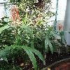 HedychiumCoccineum4.jpg 681 x 908 px 395.48 kB