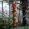 HedychiumCoccineum6.jpg 720 x 960 px 302.78 kB