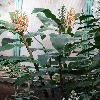 HedychiumGardnerianum2.jpg 720 x 960 px 351.91 kB