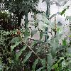 HedychiumGardnerianum3.jpg 1024 x 768 px 209.63 kB