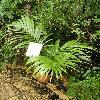 HedyscepeCanterburyana.jpg 615 x 820 px 184.32 kB