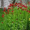 HeleniumAutumnaleMoerheimBeauty.jpg 1024 x 768 px 267.79 kB