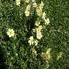 Helianthemum4.jpg 1120 x 840 px 270.58 kB