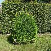 HelianthusDecapetalusCapenochStar2.jpg 1024 x 768 px 402.74 kB