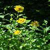 HelianthusDecapetalusCapenochStar.jpg 720 x 960 px 377.75 kB