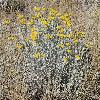 HelichrysumArenarium3.jpg 1200 x 900 px 596.38 kB