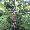Heliconia5.jpg 696 x 928 px 360.01 kB