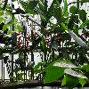 HeliconiaChartacea.jpg 1024 x 768 px 228.46 kB