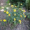 HeliopsisHelianthoidesScabra.jpg 1127 x 845 px 284.08 kB