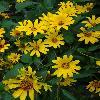 HeliopsisHelianthoidesSummerNights2.jpg 720 x 960 px 305.59 kB