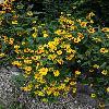 HeliopsisHelianthoidesSummerNights.jpg 720 x 960 px 476.12 kB