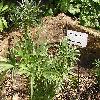 HelleborusFoetidus.jpg 1024 x 768 px 293.88 kB