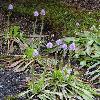 HeloniopsisOrientalisBreviscapa.jpg 681 x 908 px 381.5 kB