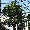 HernandiaNymphaeifolia.jpg 720 x 960 px 436 kB