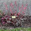 HeucheraBlueberryMuffin.jpg 681 x 908 px 225.6 kB