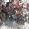 HeucheraPlumPudding.jpg 1127 x 845 px 258.7 kB