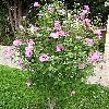 Hibiscus3.jpg 615 x 820 px 198.12 kB
