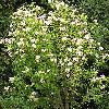 Hibiscus5.jpg 615 x 820 px 219.51 kB
