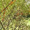 HippophaeRhamnoides8.jpg 1024 x 768 px 353.14 kB
